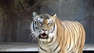 Tiger Whatsapp Status Video Download